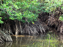 Mangrove forest. The rich mangrove forest in summer Royalty Free Stock Photos