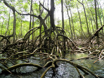 Mangrove forest and river dominican republic Royalty Free Stock Photo