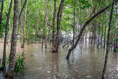 Mangrove forest and river Royalty Free Stock Photo