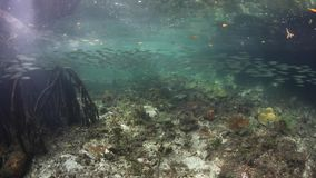 Mangrove Forest and Schooling Fish in Raja Ampat. Fish school within a blue water mangrove forest in Raja Ampat, Indonesia. This beautiful and remote region is stock video footage