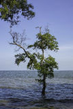 Mangrove forest in the sea Stock Images