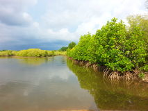 Mangrove forest. Sea tree thailand royalty free stock photography