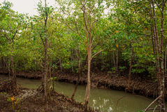 Mangrove Forest showing impressive roots groving into a marsh, Panay island, Philippines. Bakhawan eco-park Stock Image