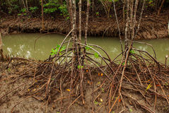 Mangrove Forest showing impressive roots groving into a marsh, Panay island, Philippines. Bakhawan eco-park Royalty Free Stock Photo