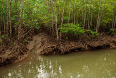 Mangrove Forest showing impressive roots groving into a marsh, Panay island, Philippines. Bakhawan eco-park Stock Photos