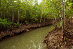 Mangrove Forest showing impressive roots groving into a marsh, Panay island, Philippines. Bakhawan eco-park Stock Photography