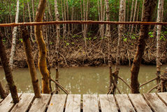 Mangrove Forest showing impressive roots groving into a marsh, Panay island, Philippines. Bakhawan eco-park Royalty Free Stock Images