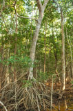 Mangrove forest in Sian Kaan, biosphere reserve, Quintana Roo, Mexico Stock Images