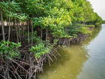 Mangrove Forest in Slow Moving Water. Mangrove Tree Roots in Slow-moving Waters Allow Fine Sediments to Accumulate, located in Lubuk Kertang, North Sumatra Royalty Free Stock Image