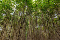 Mangrove forest on summer Royalty Free Stock Photos