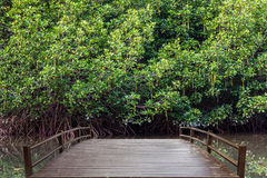 Mangrove forest on summer Stock Photography