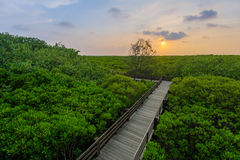 Mangrove forest by the sunset Stock Image