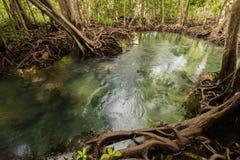 Mangrove Forest at Tha Pom ,Krabi Thailand Royalty Free Stock Image