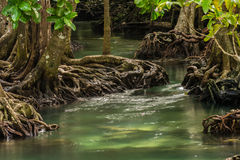 Mangrove Forest at Tha Pom ,Krabi Thailand Stock Images