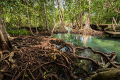 Mangrove Forest at Tha Pom ,Krabi Thailand Royalty Free Stock Images