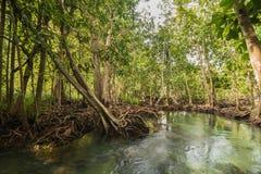 Mangrove Forest at Tha Pom ,Krabi Thailand Stock Photo