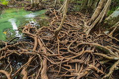 Mangrove Forest at Tha Pom ,Krabi Thailand Stock Photography