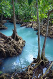Mangrove forest. In Thailand, Krabi stock photography