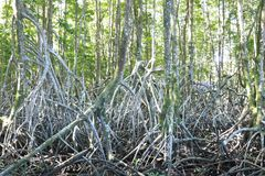 Mangrove forest in Thailand royalty free stock photography