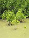 Mangrove forest in Thailand. Mangrove forest on water in Thailand Stock Photos