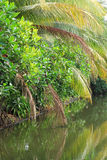 Mangrove forest topical rainforest. In Thailand Stock Images