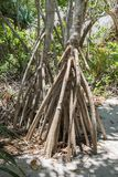 Mangrove Roots on Mystery Island. Mangrove forest tree roots in their natural habitat on Mystery Island, Vanuatu Stock Image