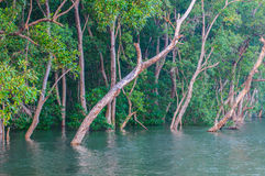 Mangrove forest trees stock photos