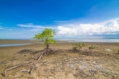 Mangrove forest tropical rainforest blue sky Royalty Free Stock Photography