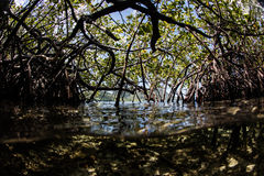 Mangrove Forest in Tropics Stock Images