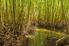 Mangrove forest at Tung Prong Thong Stock Photography