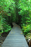 Mangrove forest. And the walk way stock images