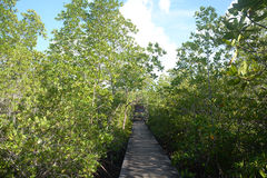 Mangrove forest with Walk way Royalty Free Stock Photography