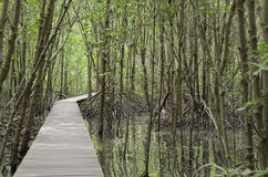 Mangrove forest and walkway is The National park. Royalty Free Stock Image