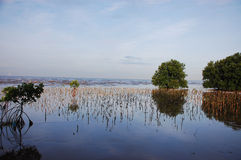 Mangrove forest,wetlands. Afforest Mangrove Conserve aquatic animals,conserve nature, habitation of aquatic animals Stock Photos