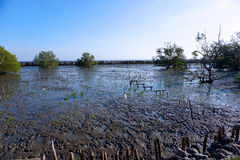 Mangrove forest, wetlands Royalty Free Stock Photo