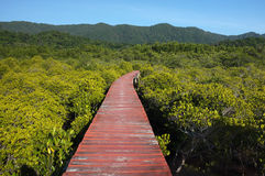 Mangrove forest with wood Walk way Stock Images