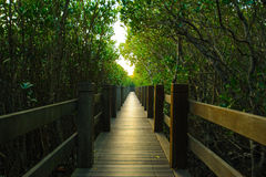 Mangrove forest with wood Walk way Royalty Free Stock Photos