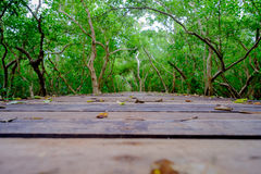 Mangrove forest with wood walkway bridge and leaves of tree. Royalty Free Stock Image