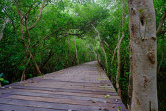 Mangrove forest with wood walkway bridge and leaves of tree. Stock Images