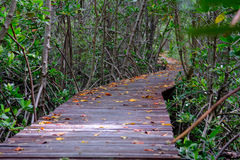 Mangrove forest with wood walkway bridge and leaves of tree. Royalty Free Stock Photography