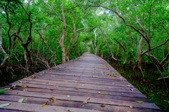 Mangrove forest with wood walkway bridge and leaves of tree.Phetchaburi ,Thailand. Royalty Free Stock Photo