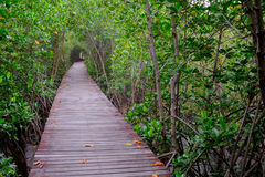 Mangrove forest with wood walkway bridge and leaves of tree. Royalty Free Stock Photos