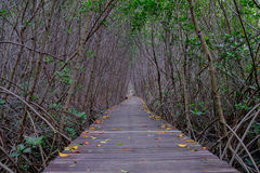 Mangrove forest with wood walkway bridge and leaves of tree. Royalty Free Stock Photo