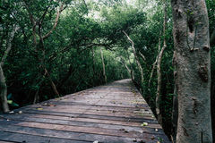 Mangrove forest with wood walkway bridge and leaves of tree.Phetchaburi ,Thailand. Stock Photos