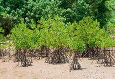 Mangrove forestation Royalty Free Stock Image
