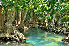 Mangrove forests. ( swamp ) with river Stock Photos
