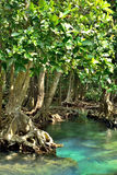 Mangrove forests Royalty Free Stock Image