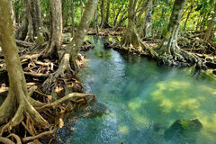 Mangrove forests. ( swamp ) with Stream Royalty Free Stock Images