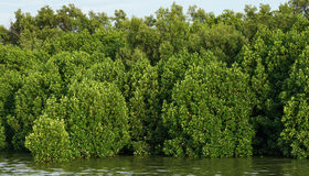 Mangrove forests abundant. Green mangrove forests abundant and clear sky Stock Photos