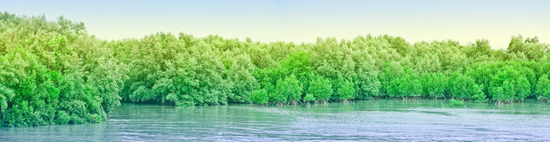 Mangrove forests. At Chonburi Thailand Royalty Free Stock Image